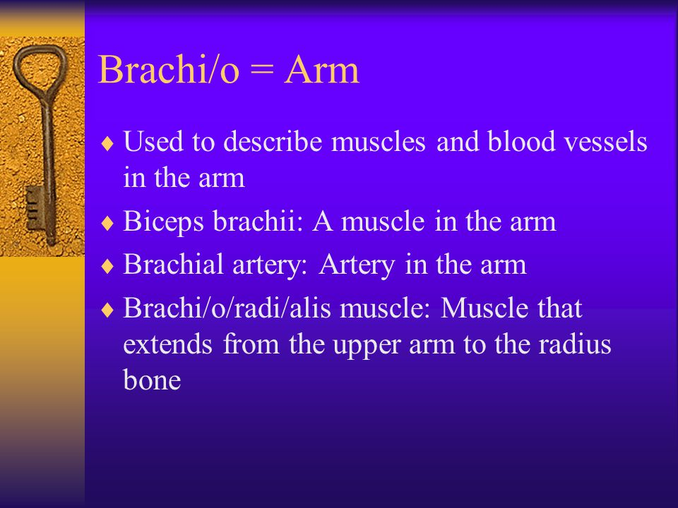 Brachi/o = Arm  Used to describe muscles and blood vessels in the arm  Biceps brachii: A muscle in the arm  Brachial artery: Artery in the arm  Br