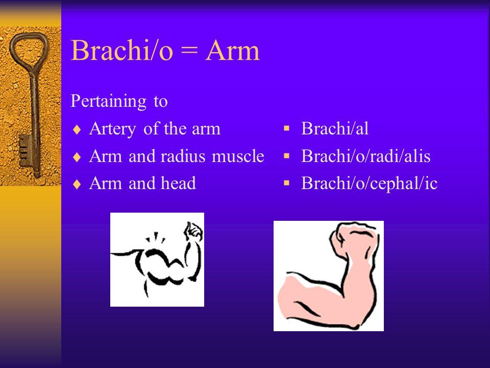 Brachi/o = Arm Pertaining to  Artery of the arm  Arm and radius muscle  Arm and head  Brachi/al  Brachi/o/radi/alis  Brachi/o/cephal/ic