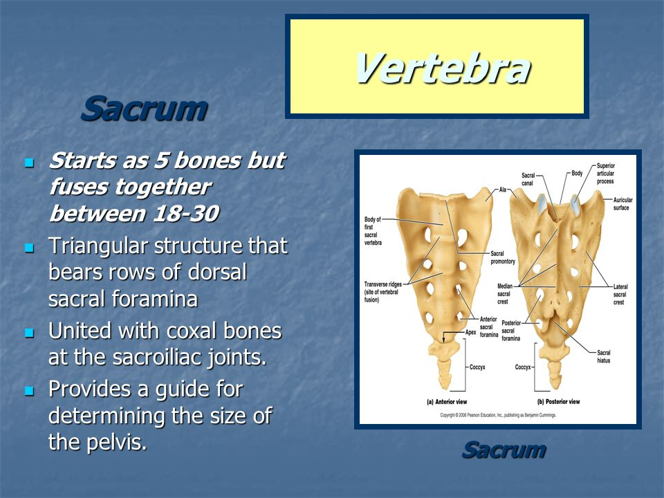 Starts as 5 bones but fuses together between 18-30 Starts as 5 bones but fuses together between 18-30 Triangular structure that bears rows of dorsal s