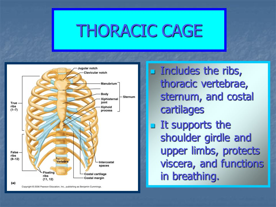 THORACIC CAGE Includes the ribs, thoracic vertebrae, sternum, and costal cartilages Includes the ribs, thoracic vertebrae, sternum, and costal cartila