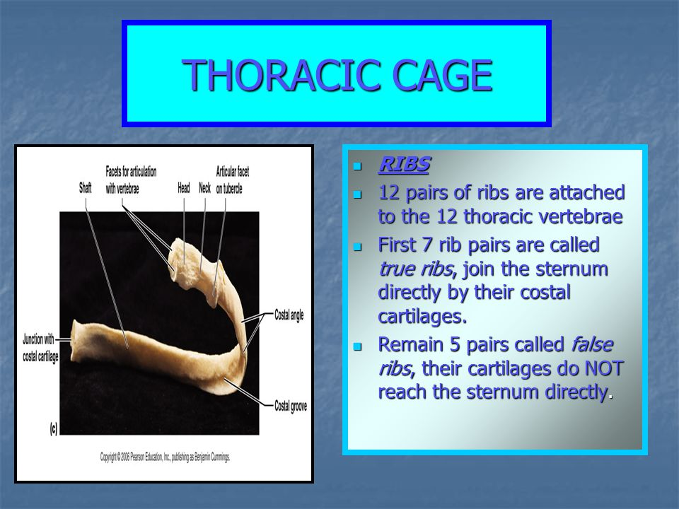 THORACIC CAGE RIBS RIBS 12 pairs of ribs are attached to the 12 thoracic vertebrae 12 pairs of ribs are attached to the 12 thoracic vertebrae First 7