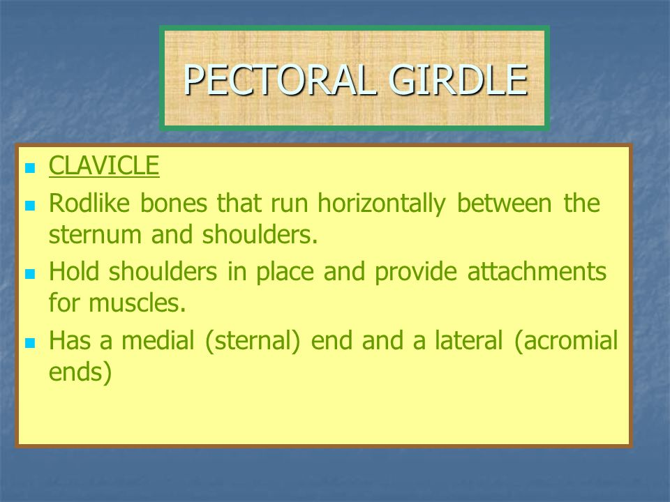 PECTORAL GIRDLE CLAVICLE Rodlike bones that run horizontally between the sternum and shoulders. Hold shoulders in place and provide attachments for mu
