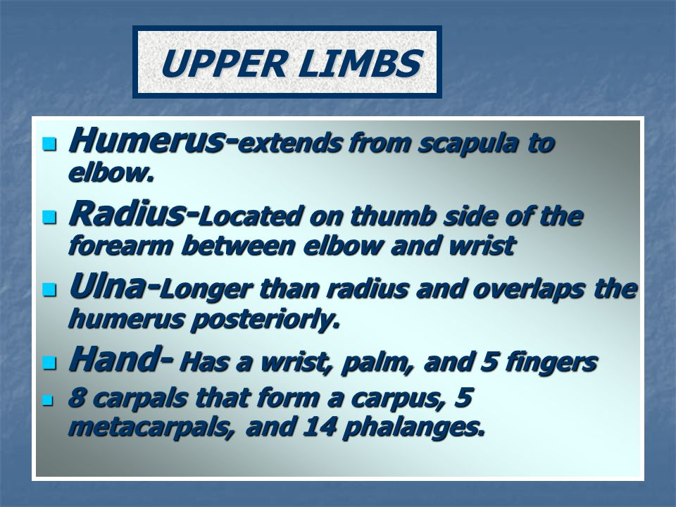 Humerus- extends from scapula to elbow. Humerus- extends from scapula to elbow. Radius- Located on thumb side of the forearm between elbow and wrist R