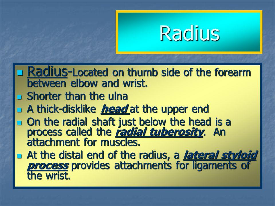 Radius Radius- Located on thumb side of the forearm between elbow and wrist. Radius- Located on thumb side of the forearm between elbow and wrist. Sho