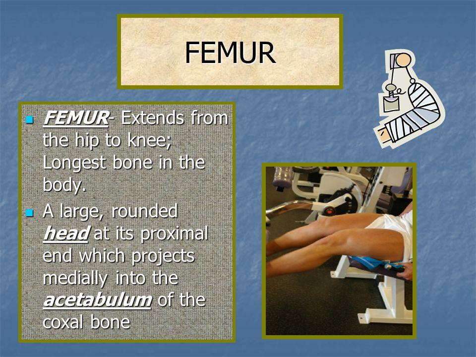 FEMUR FEMUR- Extends from the hip to knee; Longest bone in the body. FEMUR- Extends from the hip to knee; Longest bone in the body. A large, rounded h