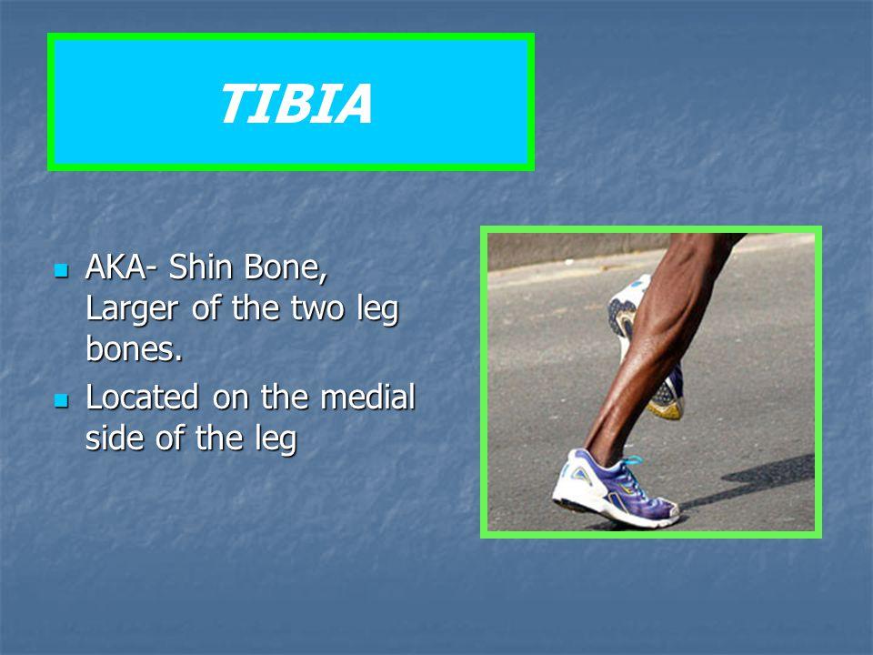 TIBIA AKA- Shin Bone, Larger of the two leg bones. AKA- Shin Bone, Larger of the two leg bones. Located on the medial side of the leg Located on the m