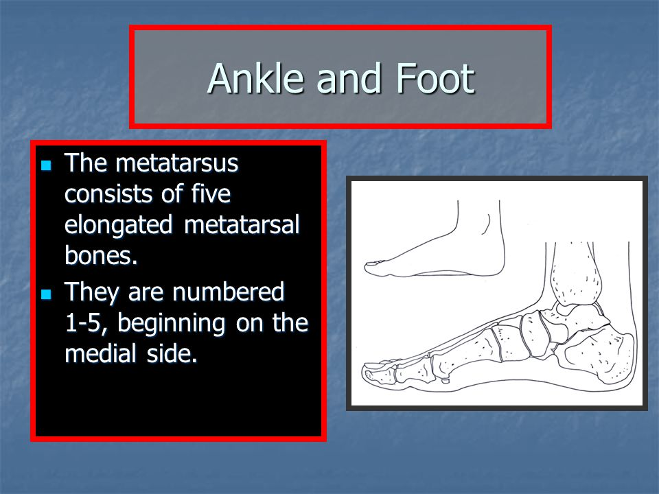 The metatarsus consists of five elongated metatarsal bones. The metatarsus consists of five elongated metatarsal bones. They are numbered 1-5, beginni