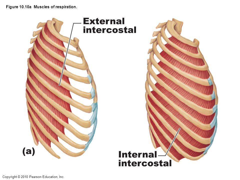 Copyright © 2010 Pearson Education, Inc.Figure 10.10a Muscles of respiration.