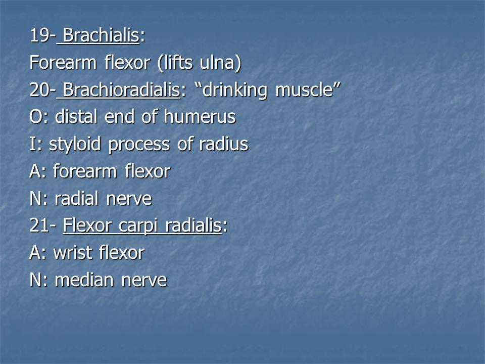 "19- Brachialis: Forearm flexor (lifts ulna) 20- Brachioradialis: ""drinking muscle"" O: distal end of humerus I: styloid process of radius A: forearm fl"