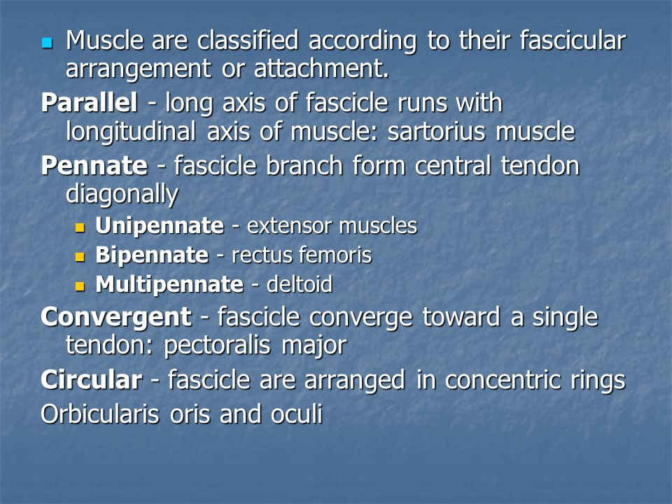 Muscle are classified according to their fascicular arrangement or attachment. Muscle are classified according to their fascicular arrangement or atta
