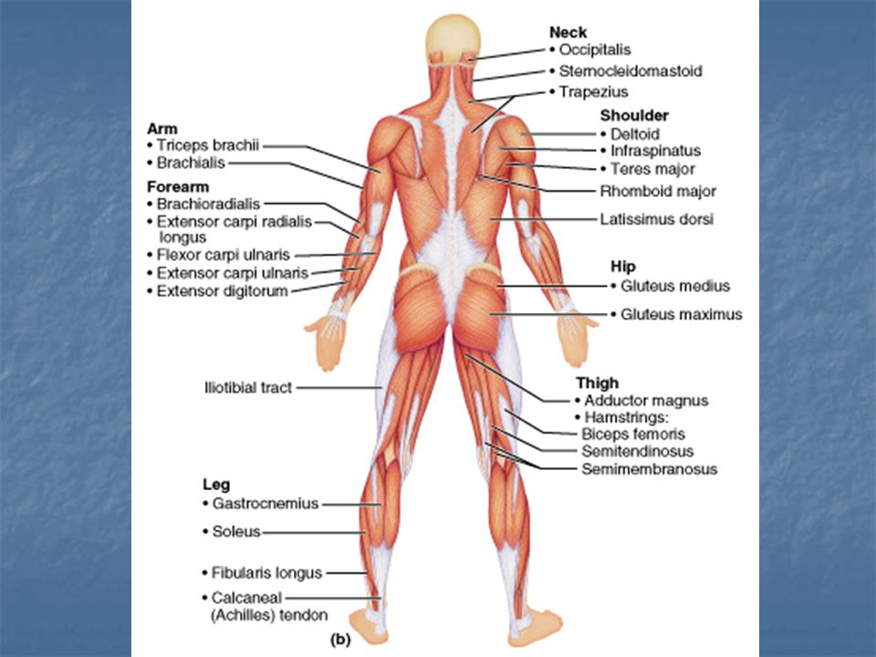 15- Gluteus medius A: abducts and medial rotates thigh N: superior gluteal nerve 16- Gluteus maximus O: dorsal ilium, sacrum and coccyx I: gluteal tuberosity of femur A: powerful thigh extender N: inferior gluteal nerve
