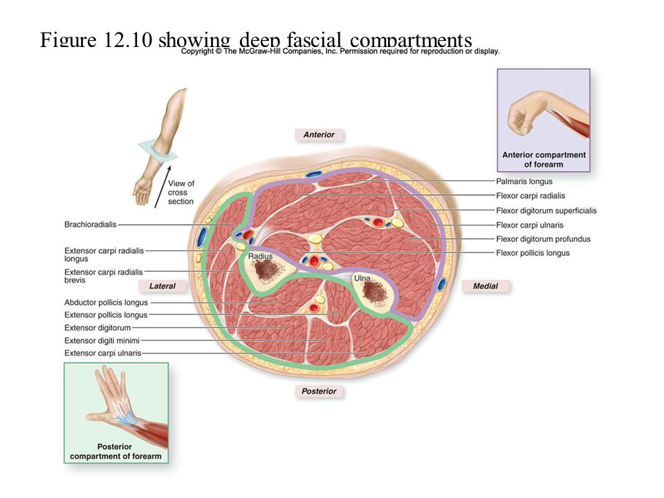Figure 12.10 showing deep fascial compartments