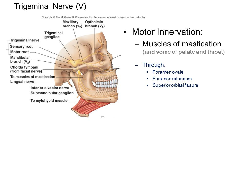 Trigeminal Nerve (V) Motor Innervation: –Muscles of mastication (and some of palate and throat) –Through: Foramen ovale Foramen rotundum Superior orbital fissure