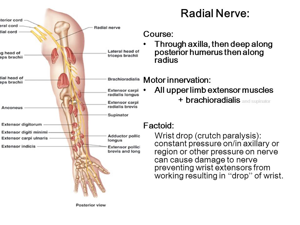 Radial Nerve: Course: Through axilla, then deep along posterior humerus then along radius Motor innervation: All upper limb extensor muscles + brachioradialis and supinator Factoid: Wrist drop (crutch paralysis): constant pressure on/in axillary or region or other pressure on nerve can cause damage to nerve preventing wrist extensors from working resulting in drop of wrist.