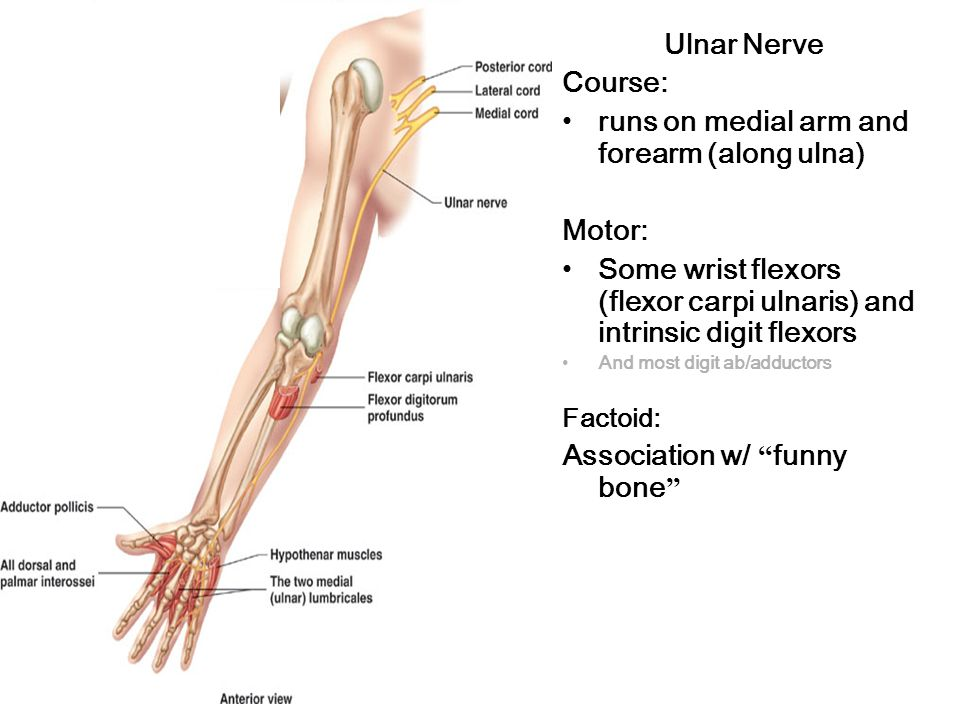 Ulnar Nerve Course: runs on medial arm and forearm (along ulna) Motor: Some wrist flexors (flexor carpi ulnaris) and intrinsic digit flexors And most digit ab/adductors Factoid: Association w/ funny bone
