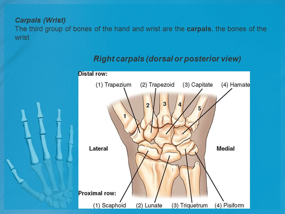 Structures Shown: The distal radius and ulna, the carpals, and the proximal metacarpals are visible.