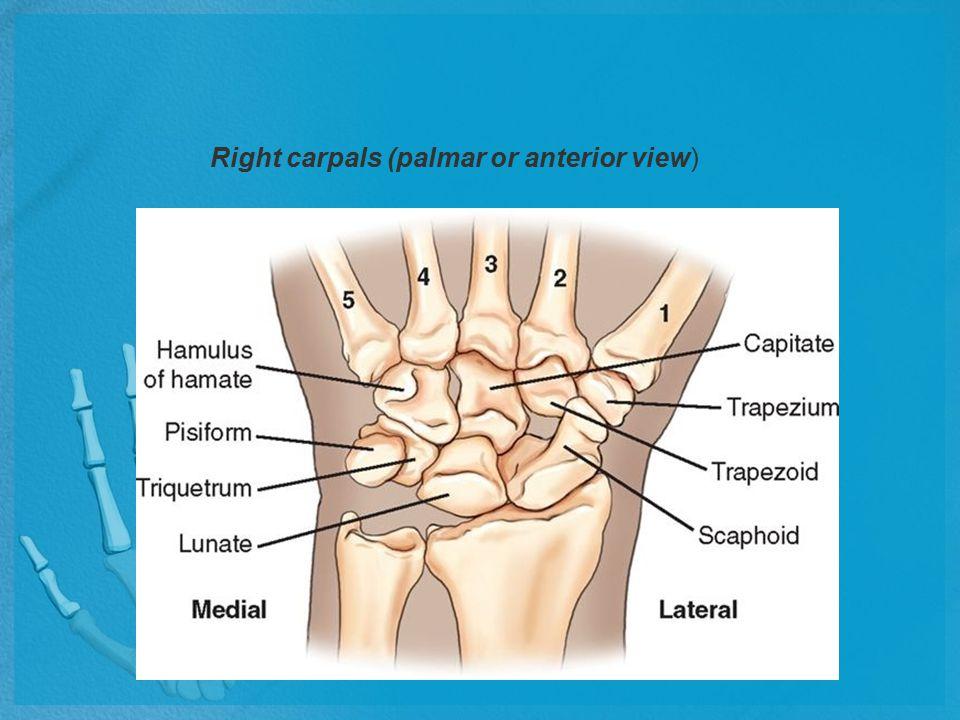 A.Scaphoid B.Lunate C.Triquetrum D.Pisiform E.Trapezium F.Trapezoid G.Capitate H.Hamate h.Hamulus (hamular process of hamate) PA wrist
