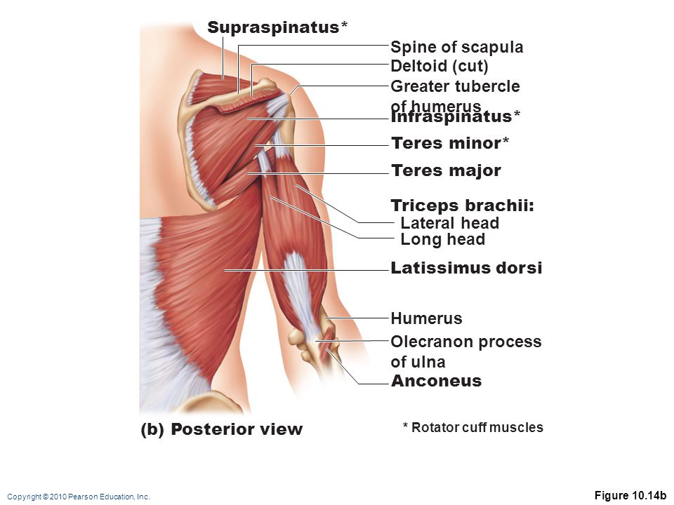 Copyright © 2010 Pearson Education, Inc. Figure 10.14b Supraspinatus* Spine of scapula (b) Posterior view Deltoid (cut) Greater tubercle of humerus In