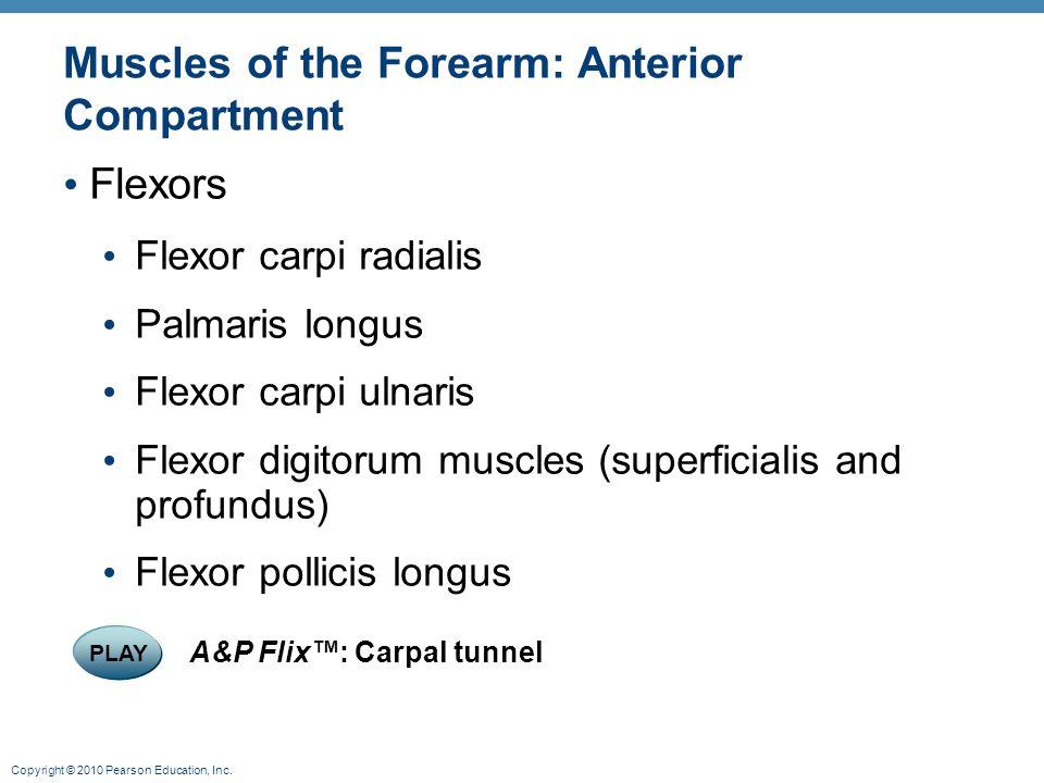 Copyright © 2010 Pearson Education, Inc. Muscles of the Forearm: Anterior Compartment Flexors Flexor carpi radialis Palmaris longus Flexor carpi ulnar