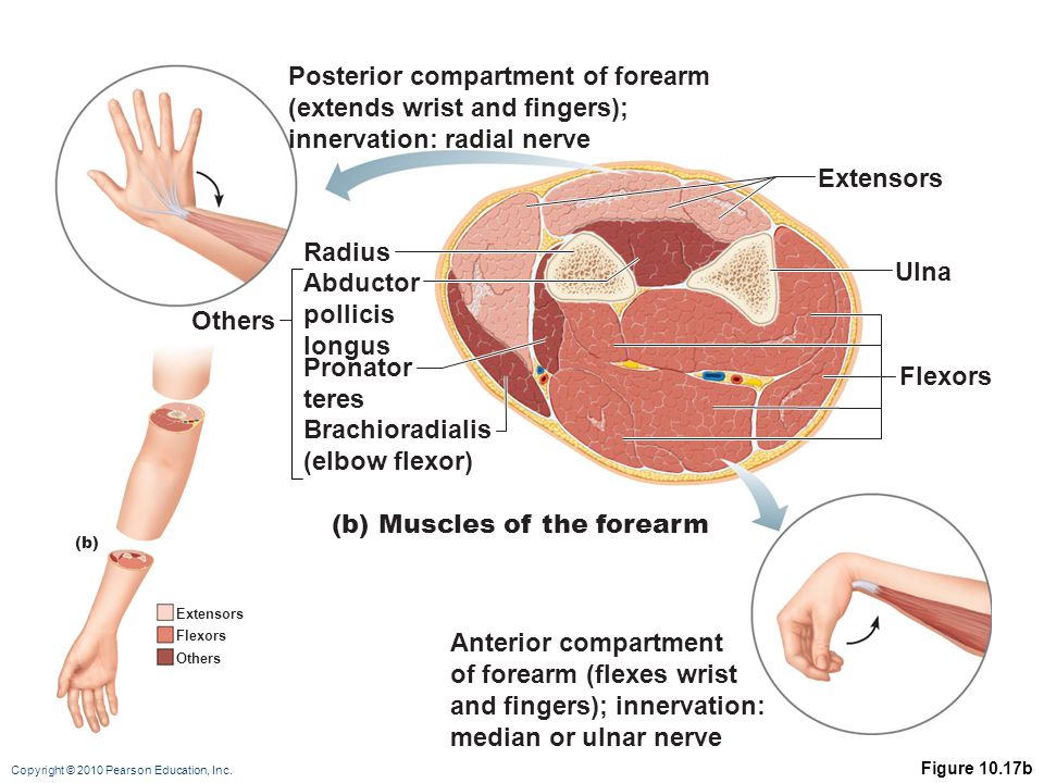 Copyright © 2010 Pearson Education, Inc. Figure 10.17b Extensors Flexors Others (b) Flexors Extensors Ulna Posterior compartment of forearm (extends w