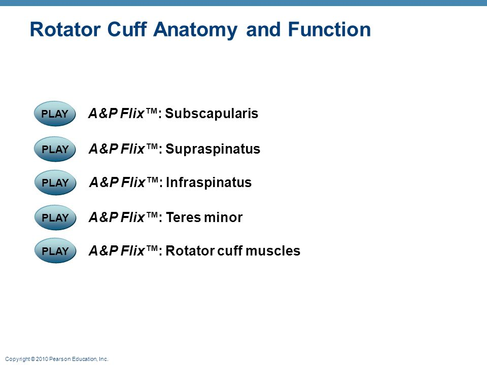Copyright © 2010 Pearson Education, Inc. Rotator Cuff Anatomy and Function PLAY A&P Flix™: Supraspinatus PLAY A&P Flix™: Subscapularis PLAY A&P Flix™: