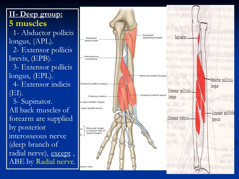 II- Deep group: 5 muscles 1- Abductor pollicis longus, (APL). 2- Extensor pollicis brevis, (EPB). 3- Extensor pollicis longus, (EPL). 4- Extensor indi