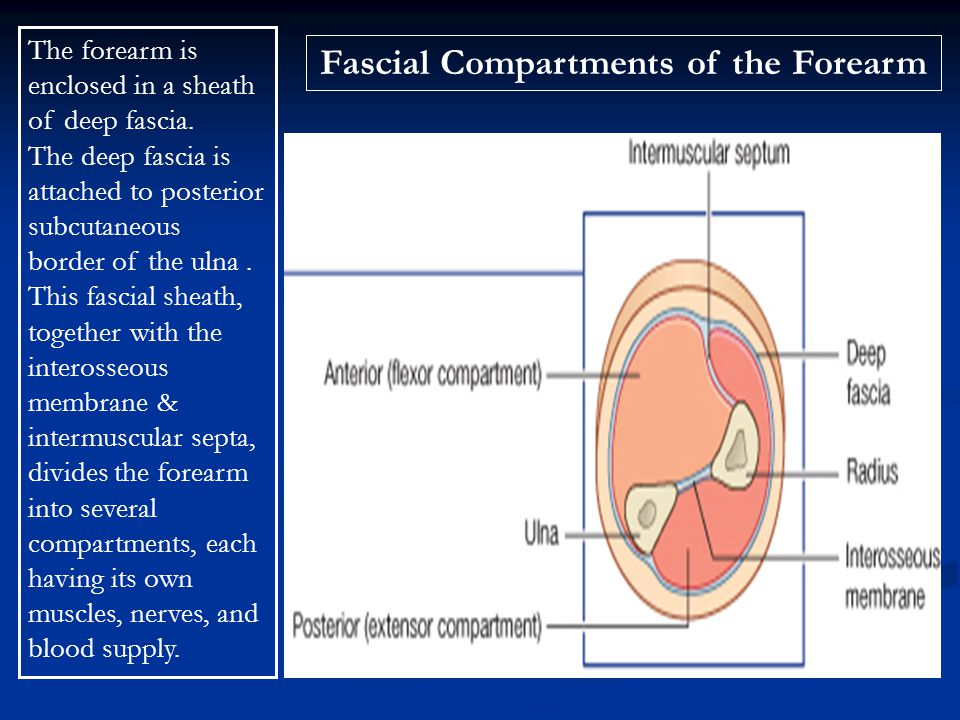 Fascial Compartments of the Forearm The forearm is enclosed in a sheath of deep fascia. The deep fascia is attached to posterior subcutaneous border o