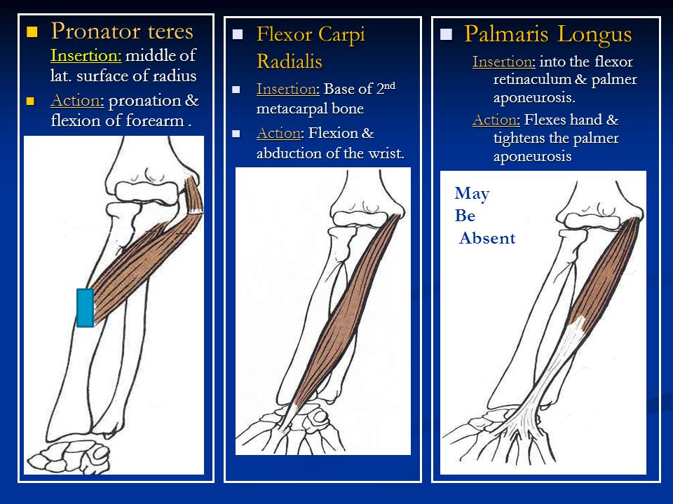 Flexor Retinaculum Thick band of deep fascia infront of the wrist joint.