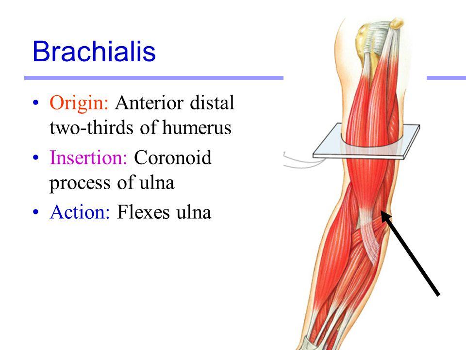 13 Origin: Anterior distal two-thirds of humerus Insertion: Coronoid process of ulna Action: Flexes ulna Brachialis
