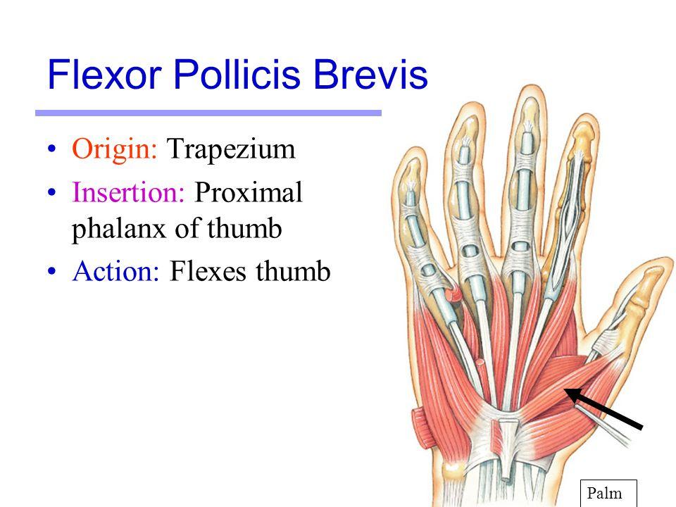 17 Origin: Trapezium Insertion: Proximal phalanx of thumb Action: Flexes thumb Palm Flexor Pollicis Brevis
