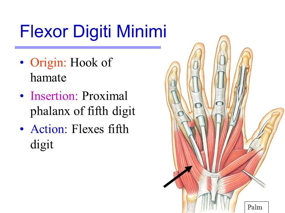 18 Origin: Hook of hamate Insertion: Proximal phalanx of fifth digit Action: Flexes fifth digit Palm Flexor Digiti Minimi