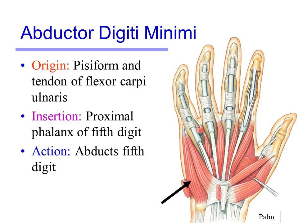 19 Origin: Pisiform and tendon of flexor carpi ulnaris Insertion: Proximal phalanx of fifth digit Action: Abducts fifth digit Palm Abductor Digiti Min