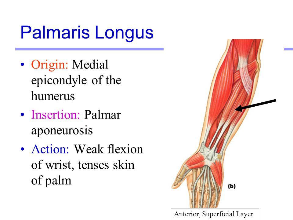 23 Origin: Medial epicondyle of the humerus Insertion: Palmar aponeurosis Action: Weak flexion of wrist, tenses skin of palm Palmaris Longus Anterior,
