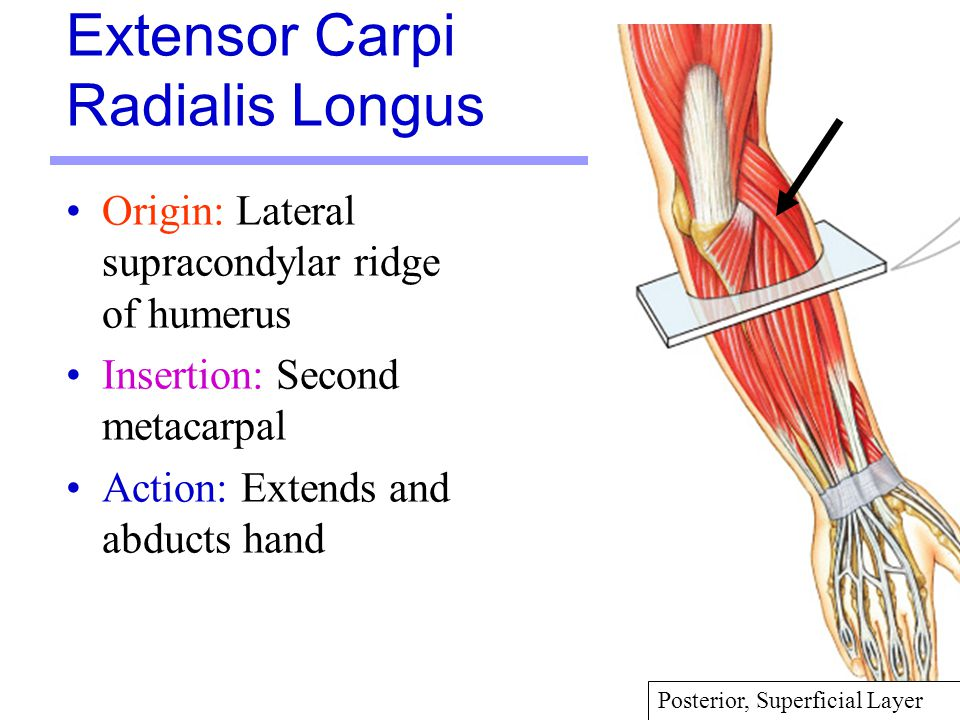 30 Origin: Lateral supracondylar ridge of humerus Insertion: Second metacarpal Action: Extends and abducts hand Extensor Carpi Radialis Longus Posteri