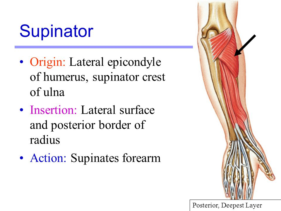 35 Origin: Lateral epicondyle of humerus, supinator crest of ulna Insertion: Lateral surface and posterior border of radius Action: Supinates forearm