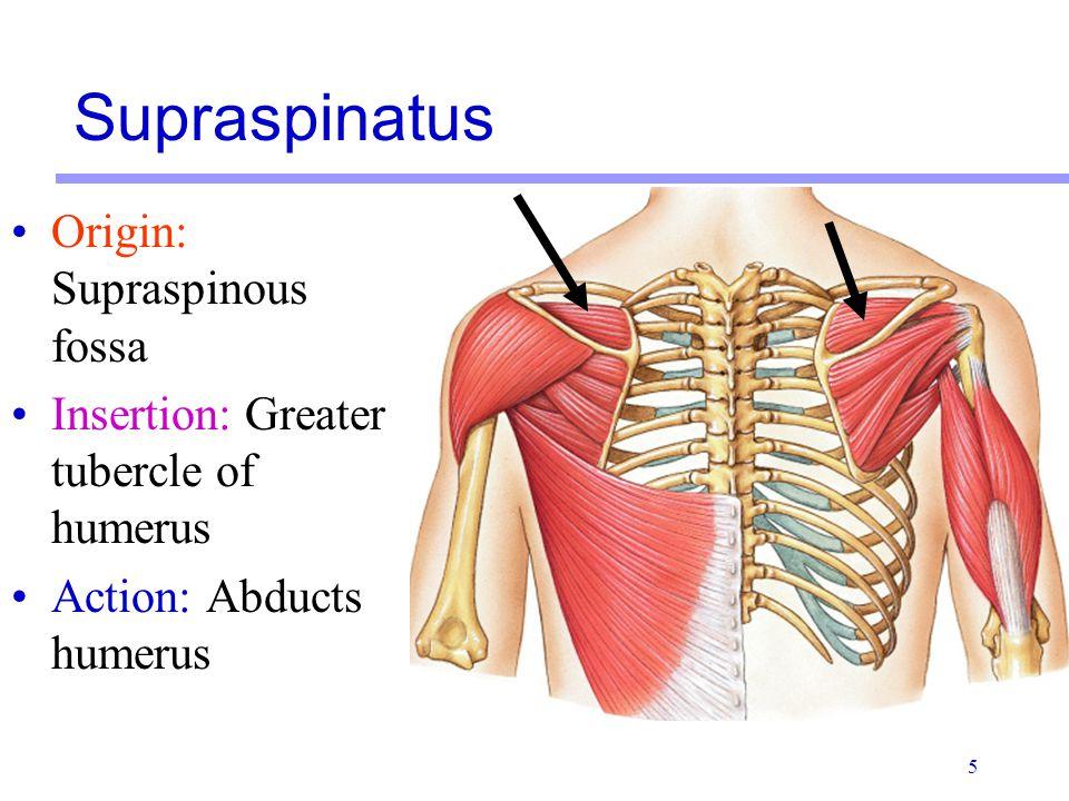 5 Origin: Supraspinous fossa Insertion: Greater tubercle of humerus Action: Abducts humerus Supraspinatus