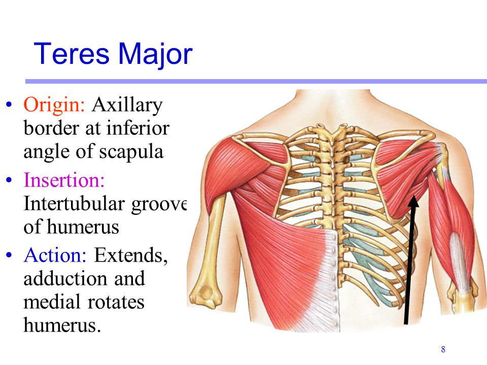 8 Origin: Axillary border at inferior angle of scapula Insertion: Intertubular groove of humerus Action: Extends, adduction and medial rotates humerus