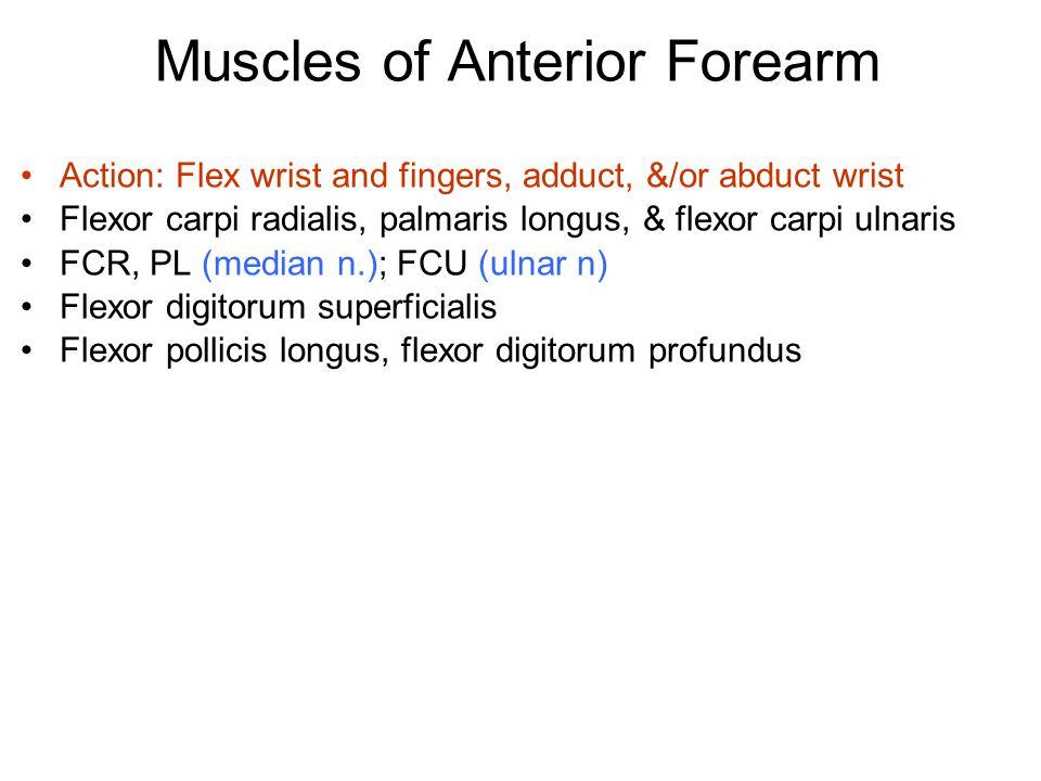 Muscles of Anterior Forearm Action: Flex wrist and fingers, adduct, &/or abduct wrist Flexor carpi radialis, palmaris longus, & flexor carpi ulnaris F
