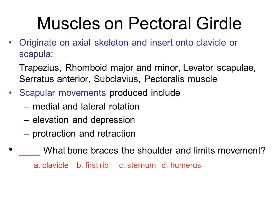 Muscles on Pectoral Girdle Originate on axial skeleton and insert onto clavicle or scapula: Trapezius, Rhomboid major and minor, Levator scapulae, Ser