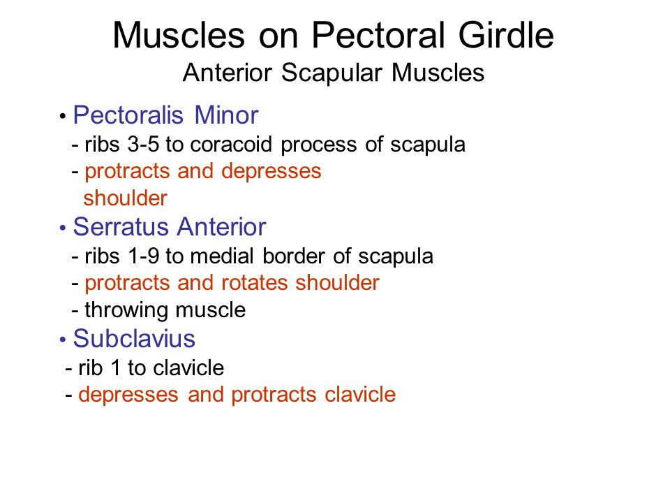 Muscles on Pectoral Girdle Anterior Scapular Muscles Pectoralis Minor - ribs 3-5 to coracoid process of scapula - protracts and depresses shoulder Ser