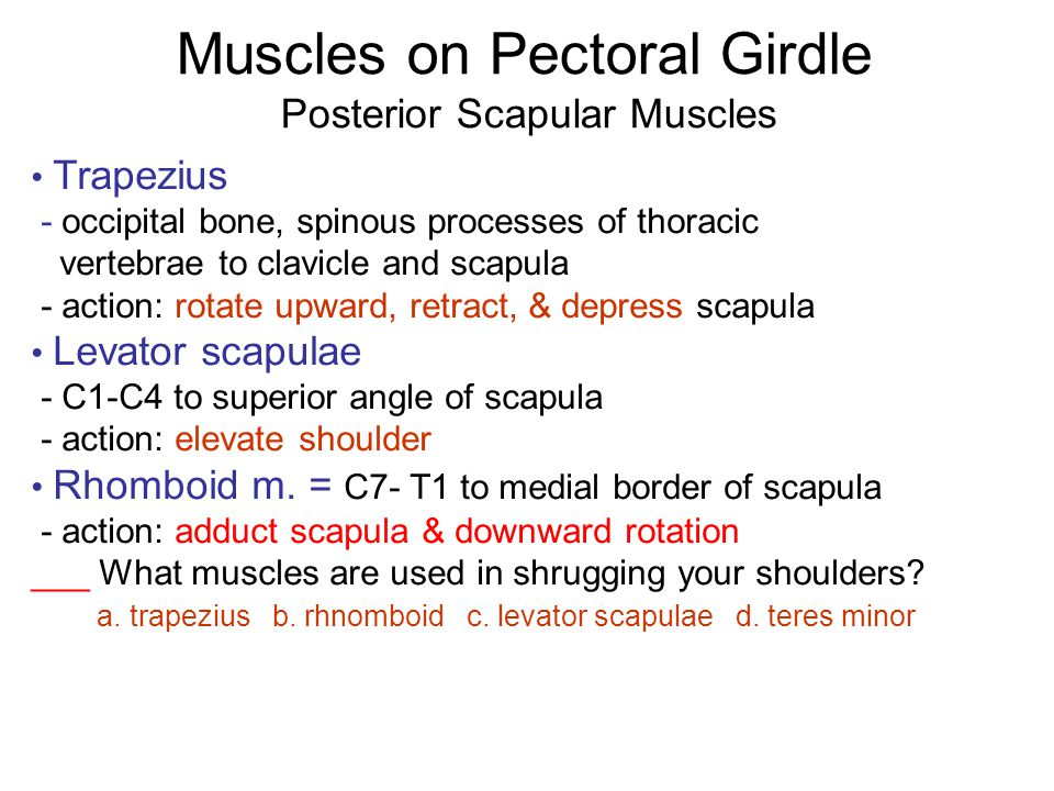 Muscles on Pectoral Girdle Posterior Scapular Muscles Trapezius - occipital bone, spinous processes of thoracic vertebrae to clavicle and scapula - ac
