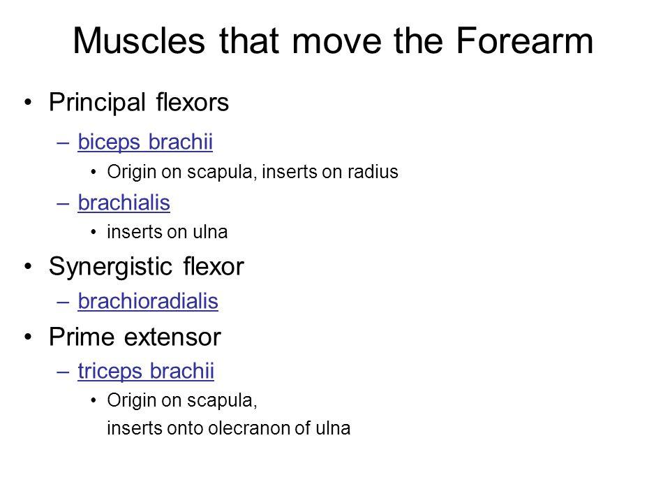 Muscles that move the Forearm Principal flexors –biceps brachii Origin on scapula, inserts on radius –brachialis inserts on ulna Synergistic flexor –b