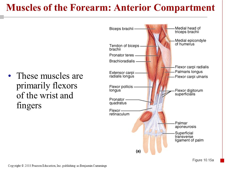Copyright © 2003 Pearson Education, Inc. publishing as Benjamin Cummings Muscles of the Forearm: Anterior Compartment These muscles are primarily flex