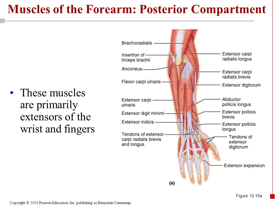 Copyright © 2003 Pearson Education, Inc. publishing as Benjamin Cummings Muscles of the Forearm: Posterior Compartment These muscles are primarily ext