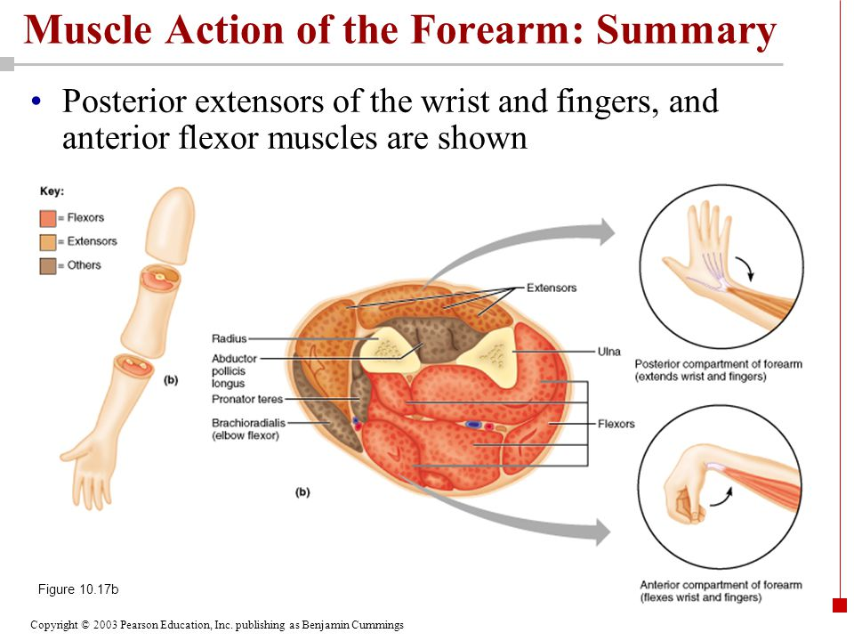 Copyright © 2003 Pearson Education, Inc. publishing as Benjamin Cummings Muscle Action of the Forearm: Summary Posterior extensors of the wrist and fi