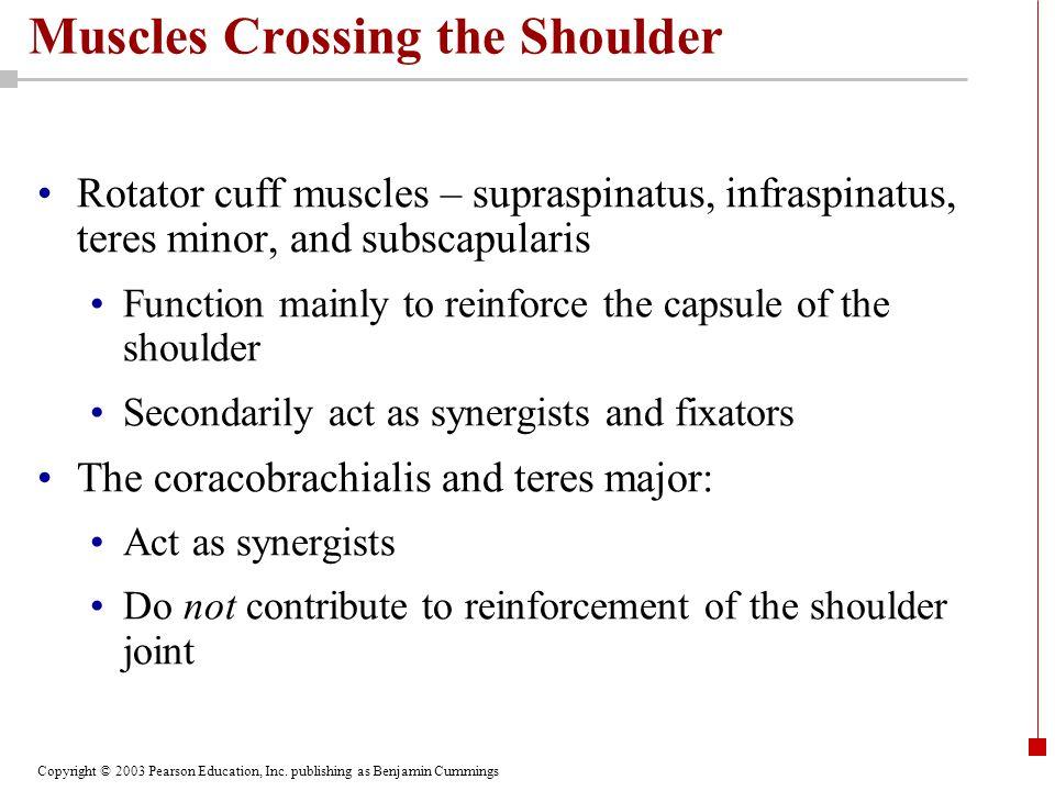 Copyright © 2003 Pearson Education, Inc. publishing as Benjamin Cummings Muscles Crossing the Shoulder Rotator cuff muscles – supraspinatus, infraspin