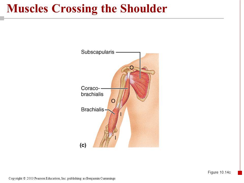 Copyright © 2003 Pearson Education, Inc. publishing as Benjamin Cummings Muscles Crossing the Shoulder Figure 10.14c
