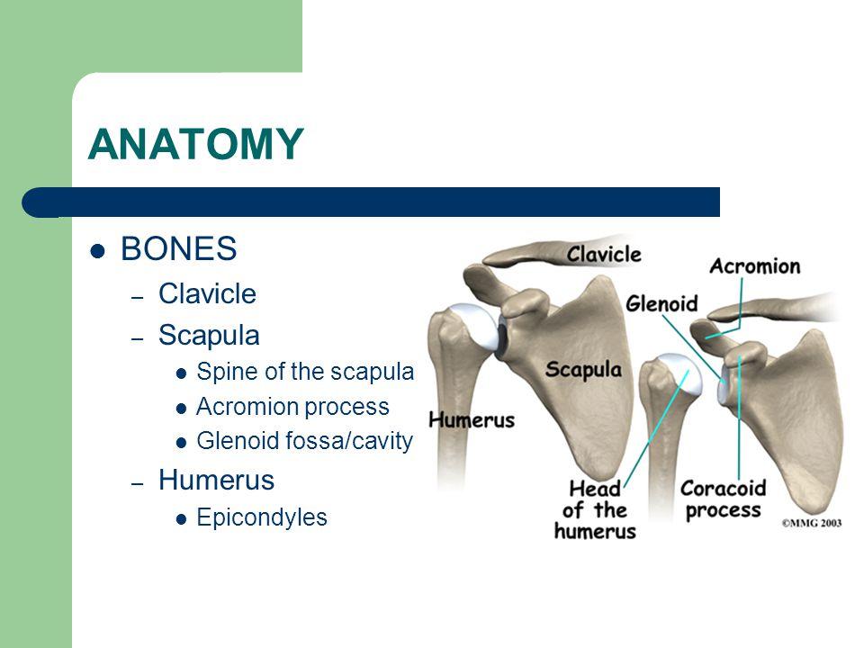 ANATOMY BONES – Clavicle – Scapula Spine of the scapula Acromion process Glenoid fossa/cavity – Humerus Epicondyles