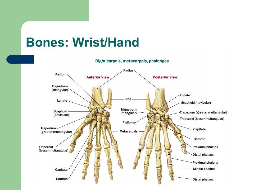 Bones: Wrist/Hand
