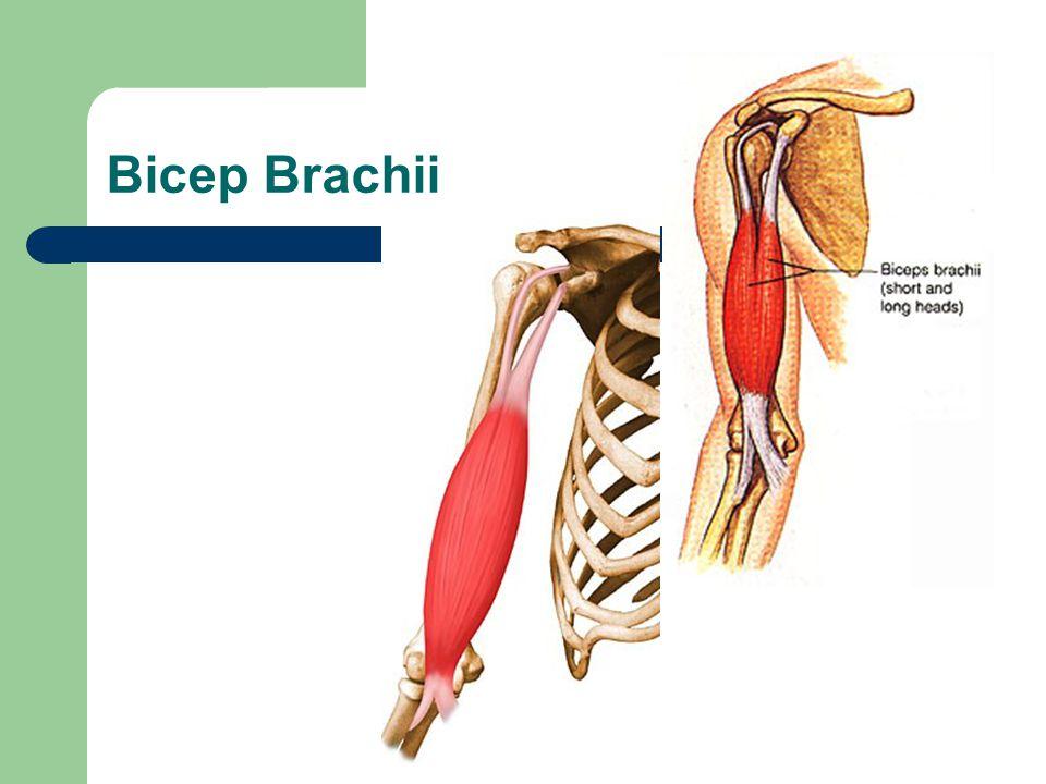 Bicep Brachii